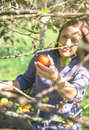 Woman hand picking red apple from the tree Royalty Free Stock Photo