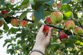 A woman hand picking a red ripe apple from the apple tree Royalty Free Stock Photo