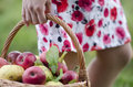 Woman hand put a basket with apples and green background Stock Photo