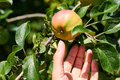 Woman hand raised and grab fresh red apple from tree. Rural and health concept Royalty Free Stock Photo