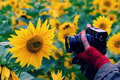 Woman hand take photo at sunflower field Royalty Free Stock Photo