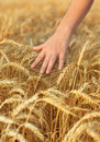 Woman hand touching wheat Royalty Free Stock Image