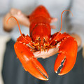 Woman hands holding cooked lobster closeup of Stock Image