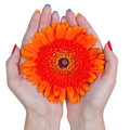 Woman hands holding a flower isolated on white background white with red gerbera daisy Stock Images