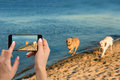 Woman hands with mobile cell phone to take a photo of as two labrador run along the river bank Royalty Free Stock Photo