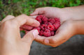 Woman hands take one Berry out handfuls of raspberries in the hand  a girl Royalty Free Stock Photo