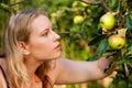 Woman Harvesting apples in garden Royalty Free Stock Photos