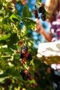 Woman harvesting berries in garden Royalty Free Stock Photo
