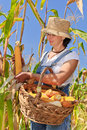 Woman harvesting maize Stock Images