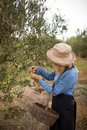 Woman harvesting olives from tree Royalty Free Stock Photo