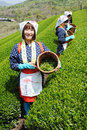 Woman harvesting tea leaves Stock Images