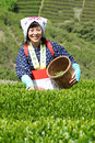 Woman harvesting tea leaves Royalty Free Stock Images