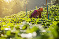 Woman harvests strawberry in strawberry plantation field tak thailand jan an unidentified the morning january tak province Stock Image