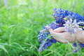 Woman holding a bouquet of field lupine flowers Royalty Free Stock Photo