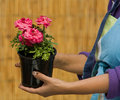 Woman holding Flower Pot Royalty Free Stock Image