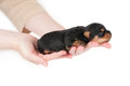 Woman holds two week old puppy Royalty Free Stock Image
