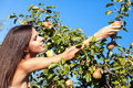 Woman in pear garden Royalty Free Stock Photography