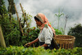 Woman pick tea leafs, Darjeeling, India Royalty Free Stock Photography