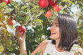 Woman picking apples in the apple orchard Royalty Free Stock Photo