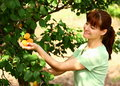 Woman picking apricots Royalty Free Stock Photo
