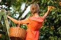 Woman picking apricots Stock Photo