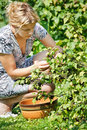 Woman picking fresh black currant Stock Images
