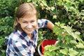 Woman picking fresh organic black currant from bush Royalty Free Stock Photo