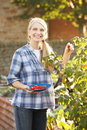Woman picking fruit on allotment Royalty Free Stock Photo