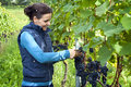 Woman picking grapes Stock Images