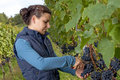 Woman picking grapes Royalty Free Stock Photography