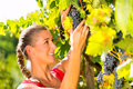 Woman picking grapes with shear at harvest time winegrower in the sunshine Stock Photography