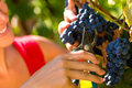 Woman picking grapes with shear winemaker at harvest time in the sunshine Stock Photo
