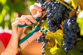 Woman picking grapes with shear winemaker at harvest time in the sunshine Stock Images