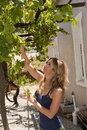 Woman picking grapes wine Stock Photography