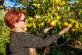 Woman Picking Lemons Royalty Free Stock Photo