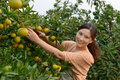 Woman picking oranges autumn is harvest season a beautiful is Royalty Free Stock Photo