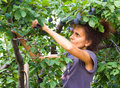 Woman picking plums Stock Image