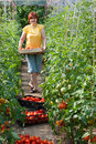 Woman picking  tomatoes Stock Photo