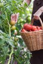 Woman is picking tomatoes in the greenhouse and puts into a basket Royalty Free Stock Photo