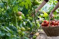 Woman is picking tomatoes in the greenhouse Royalty Free Stock Photo