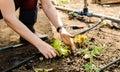 Woman planting salad
