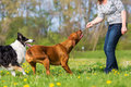 Woman plays with two dogs on the meadow Royalty Free Stock Photo