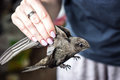 Woman's hand holding a young, wild, beautiful, grey bird (common swift) per wings.