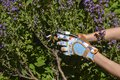 Woman`s hands cutting sage herbs with secateurs wearing colorful garden gloves