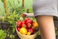 Woman`s hands harvesting fresh organic tomatoes Royalty Free Stock Photo