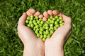 Woman's hands holding green peas Royalty Free Stock Photo