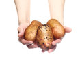 Woman`s hands holding potatoes isolated on white Royalty Free Stock Photo