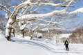 Woman Skis Past Snow Covered Trees Royalty Free Stock Photos