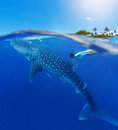 Woman snorkeling with whale shark Royalty Free Stock Photo