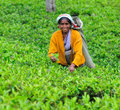 Woman from Sri Lanka picks in tea leaves. Stock Photography